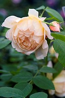 ROSA ´GRACE´ AUSKEPPY BRED BY DAVID AUSTIN