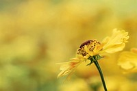 HELENIUM ´RIVERTON BEAUTY´