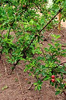 APPLE FIESTA ESPALIER TRAINED
