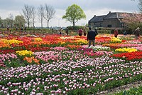 TULIPS ON DISPLAY AT HORTUS BULBORUM LIMMEN HOLLAND