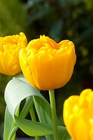 TULIPA GOLD FEVER / GOLDEN ANGEL