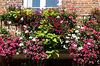 WINDOW BOX WITH PETUNIAS AND PELARGONIUMS