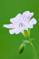 GERANIUM _ 'LACE TIME'