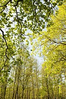 DECIDUOUS TREE CANOPY IN SPRING