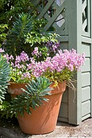 NEMESIA IN POT BY WOODEN PORCH