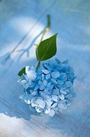 HYDRANGEA MACROPHYLLA ´ENDLESS SUMMER´