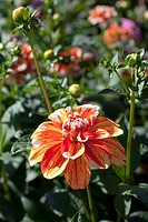 DAHLIA ´BE A SPORT´ FORMAL DECORATIVE