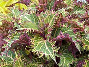 COLEUS PETERS WONDER