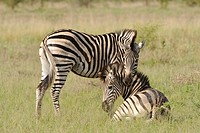 Plains Zebra Equus quagga pair resting on plains, Okavango Delta, Botswana