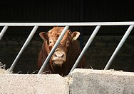 A Hereford Bull with a ring in it's nose in a pen