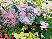CALADIUM BEGONIA MIX