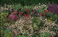 ERIGERON MUCRONATUS IN A BORDER WITH VALERIAN OXALIS AND AUBRETIA