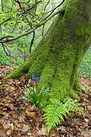 HYACINTHOIDES NON_SCRIPTA BLUEBELL AT BASE OF TREE