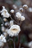 JAPANESE ANEMONE FLUFFY SEEDHEADS WITH HOAR FROST