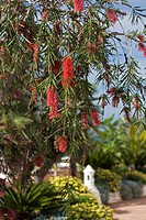 CALLISTEMON BOTTLE BRUSH PLANT MARCH