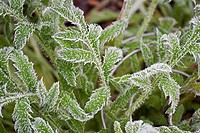 PAPAVER ORIENTALE LEAVES IN FROST