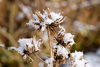 BERKHEYA MACROCEPHALA IN SNOW
