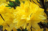 RHODODENDRON ANTHONY KOSTER YELLOW FLOWERS CLOSE UP