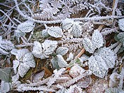 LEAFS OF RONCE COUGREENES OF FROST.