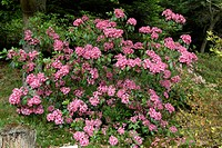 KALMIA LATIFOLIA ´PINEK CHARM´. BOTANICAL GARDEN OF GONDREMER