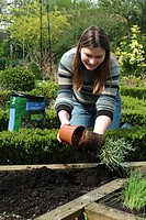 PLANTING OF ROSEMARY. PERSON DEPOTANT LA PLANT. PLANT AROMATIC SCENTED FRAGRANT. GARDEN MAP