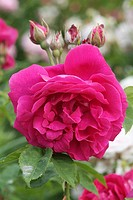 ROSA ´GENERAL JACQUEMINOT´ ROSE. HYBRID REMONTANT. BREEDER : ROUSSEL 1833. ROSERAIE ANDRE EVE. PITHIVIERS.