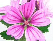 Malva sylvestris Mallow, French Hollyhock flowers