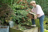 PERSON MAINTAINING COMPOST . PERSON SE DEBARASSANT OF LA EARTH SOIL UNE VIEILLE WINDOW BOX IN UN ENDROIT OF GARDEN MAP