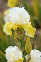 IRIS GERMANICA ´MOON JOURNEY´ IRIS DES GARDENS. PERENNIAL WITH RHIZOME. COLLECTION CAYEUX