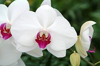 PHALAENOPSIS ´DEMOISELLE OF ROCHEFORT´. ORCHID. COLLECTION VACHEROT_LECOUFLE