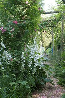 BORDER OF CAMPANULA LATILOBA ´GRANDIS´ SOUS ARBOUR OF ROSIERS. GARDEN ANNE_MARIE WITH LARDY. ESSONNE