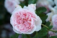 ROSA ´CINDERELLA´ ROSE. GLOBE PLANTER