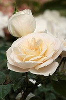 ROSA ´LION ROSE´ ROSE. ROSE BUSH BUSH. GLOBE PLANTER