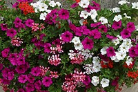 ASSOCIATION OF PETUNIA AND PELARGONIUM