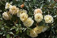 ROSA ´CANICULE´ ROSE. TANMIRSCH. BREEDER : TANTAU 1993. EDITE IN FRANCE PAR EDIROSE