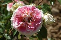 ROSA ´CESAR´ ROSE. MEISARDAN. BREEDER : MEILLAND