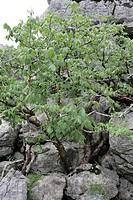 COMMIPHORA ANKARANENSIS. BURSERACEAE. TREE DES WASAS. RESERVE ANKARANA. MADAGASCAR.