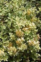 LONICERA JAPONICA ´MINT CRISP´ CHEVRELEAF OF JAPAN. CAPRIFOLIACEAE. GRIMPANTE WITH FOLIAGE SEMI_EVERGREEN. FLOWERING OF JUNE WITH SEPTEMBER. PARFUME. ...