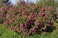 RIBES SANGUINEUM GROSEILLER WITH FLOWERS. GARDEN EXPRESSAPRIL