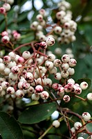 SORBUS HUPEHENSIS EARLY NOVEMBER