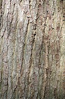 CASTANEA SATIVA SWEET CHESTNUT BARK