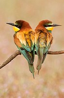 Couple of European Beeeaters Merops apiaster perched in the surroundings of the nest in breeding season, Spain