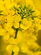 Flowering oilseed rape close_up
