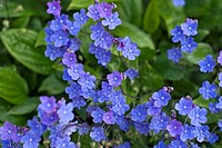 OMPHALODES CAPPADOCICA ´CHERRY INGRAM´