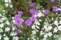 OMPHALODES LINIFOLIA WITH GERANIUM PYRENAICUM ´BILL WALLIS´