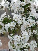 PRUNUS AVIUM CHERRY BLOSSOM WHITE