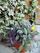 WINTER CONTAINER SALVIA SAGE ERICA AND HEDERA.