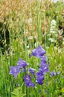 CAMPANULA PERSICIFOLIA IN GRASS MEADOW.