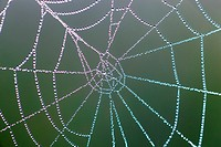 spider web full of dew drops, Switzerland