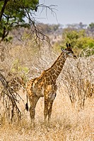A baby giraffe (Giraffa camelopardalis) in the Kruger National Park in South Africa